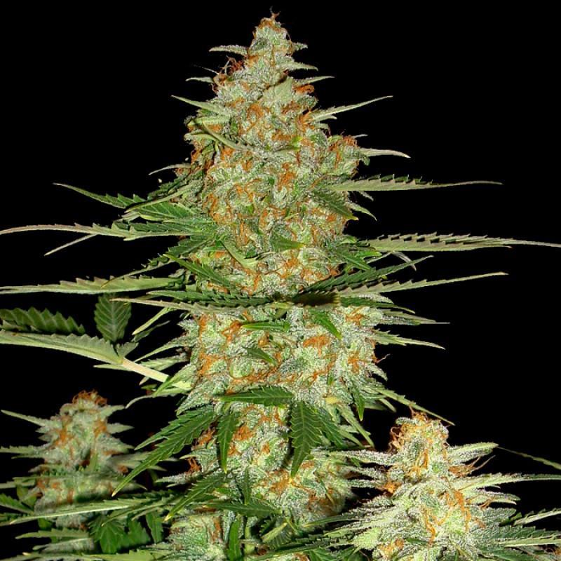 Низкорослый сорт марихуаны продукты с марихуаной в праге